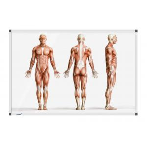 Tabuľa Premium 100x150 cm, ľudské telo v stoji